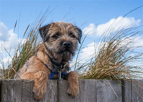 border terrier puppies for sale near me