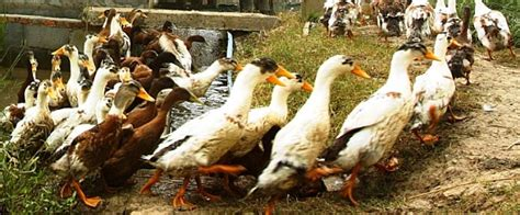 raising backyard ducks backyard duck raising for meat and eggs business diary ph