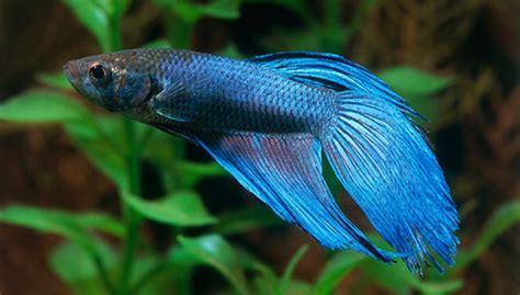Betta Gold Size S cool betta fish tanks aquarium reviews articles breed
