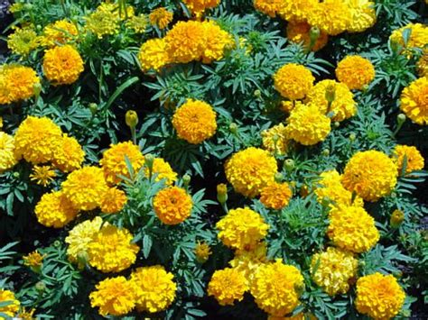 Let S Plant Marigolds For Medicinal Purposes Marigolds In Vegetable Garden