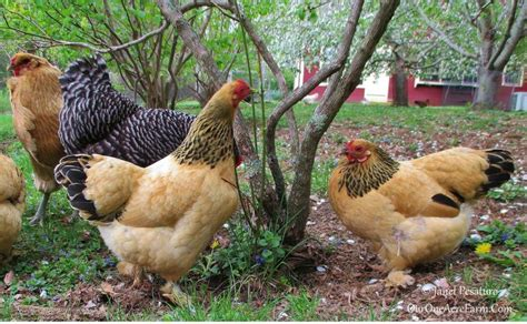 Best Backyard Chickens For Eggs 4 Benefits Of A Mixed Flock Of Backyard Chickens