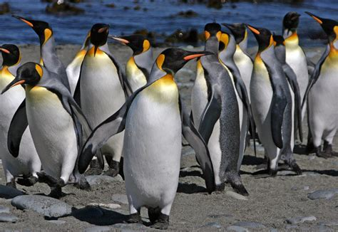 Penguin S king penguins pictures and facts