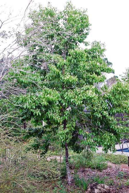 west indian cherry florida plants landscaping delray fl boynton fl lake