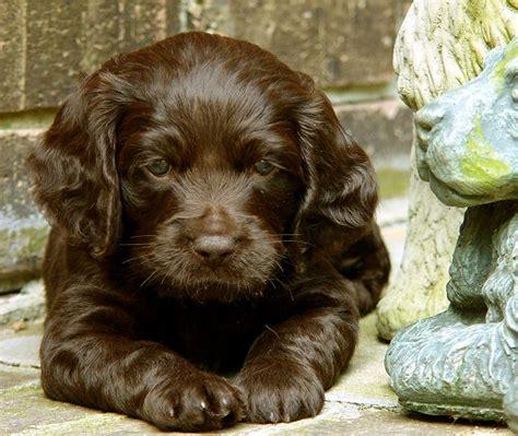 boykin puppies boykin spaniel