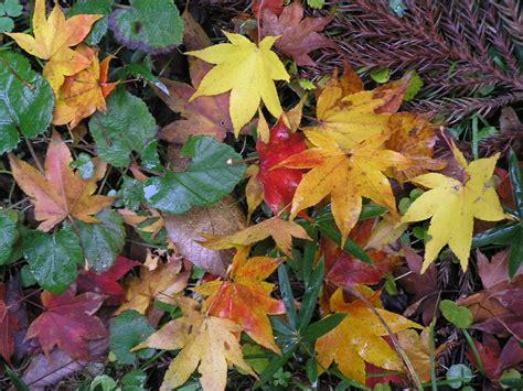 leaf colors autumn leaf color