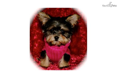 yorkie puppies for sale in florence sc morkie puppies for sale in
