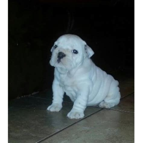 free puppies in mississippi ultimate bond englishbulldogs bulldog breeder in biloxi mississippi