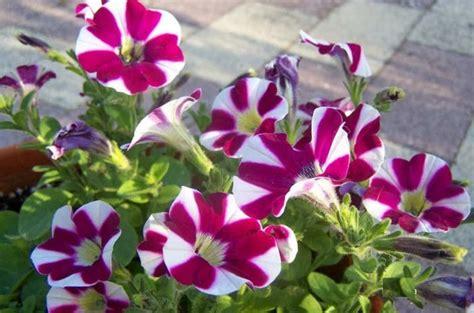 Petunia Merah tanaman hias serta bunga pengusir nyamuk bibitbunga