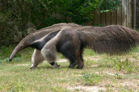 giant anteaters kill  hunters  brazil worldnews