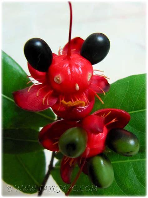 ochna kirkii aka mickey mouse plant cool   flickr