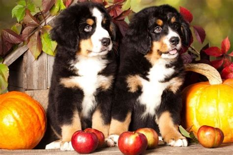 dogs and apples can dogs eat apples american kennel club