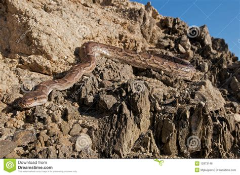 Backyard Wild Animals Angola Python Royalty Free Stock Photos Image 12873148