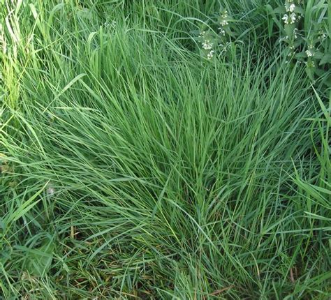 scientific name of couch grass file gewoon struisgras agrostis tenuis jpg wikimedia commons