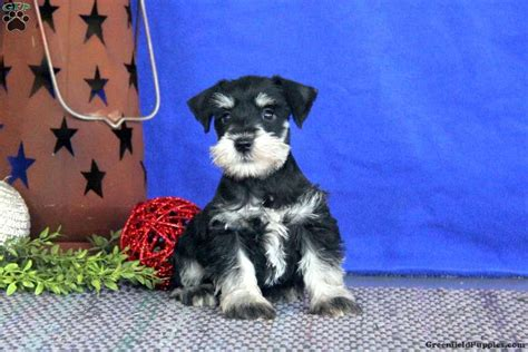 miniature schnauzer puppies for sale in pa johnny schnauzer miniature puppy for sale in pennsylvania