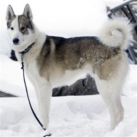 east siberian laika breed guide learn   east siberian laika