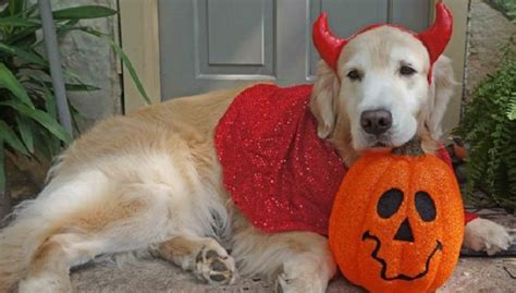 buzzed golden retriever 12 costumes that prove golden retrievers always win at