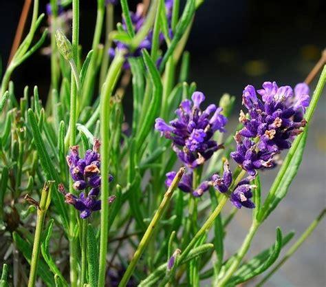 pianta lavanda in vaso lavanda in vaso piante da giardino lavanda coltivata