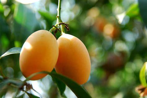 pernahkah melihat buah buahan asli bumi indonesia