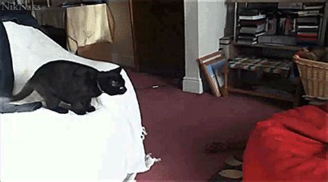 cat on chair gif animals on fox wolves and white wolves