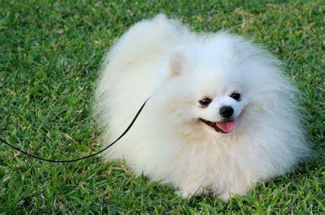 white pomeranian names pomeranian puppies white pomeranian age of 2 years