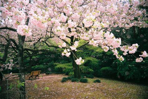 wallpaper bunga sakura bergerak gambar animasi bergerak bunga sakura jepang yang paling cantik