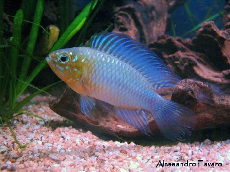 Ikan Apisto Agassizi Gold Apistogramma Agassizi Gold 1000 images about apistos on what is this cichlids and gold