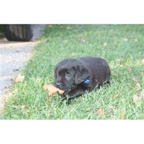 free puppies rochester ny chocolate lab puppies rochester ny personal
