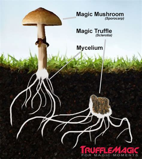 how to grow psilocybin mushrooms practical guide for absolute beginners easy way to grow your own mushrooms books faq trufflemagic fresh truffles grow kits