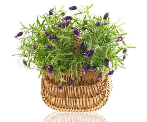 beautiful lavender plant in basket on white background