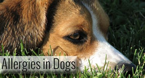 what are dogs allergic to what causes allergies and how to deal with it
