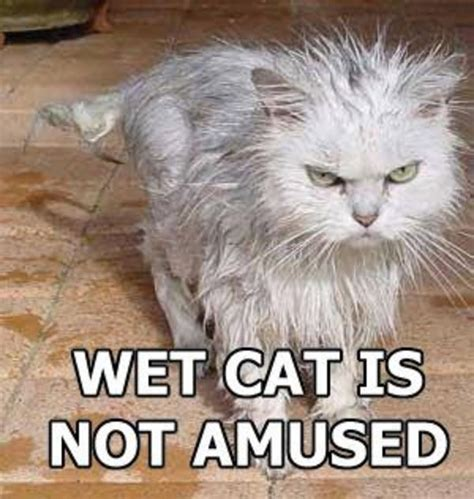 Wet Cat Meme - image 25885 trashcat is not amused know your meme