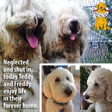 golden beginnings golden retriever rescue inc delaware valley golden retriever rescue delaware valley golden retriever rescue inc