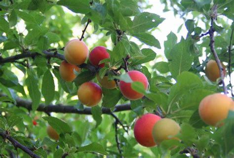 list of plum tree varieties plum tree ripening order
