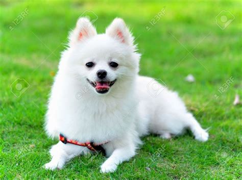 pomeranian puppies white pomeranian white puppies puppies puppy
