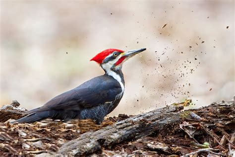 back in the u s a pileated woodpecker pecking wood
