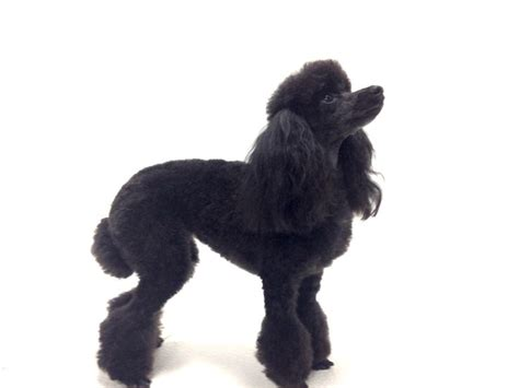 how to do a bob marley poodle cut on a dog 15 best images about hairdoos on pinterest poodles bob