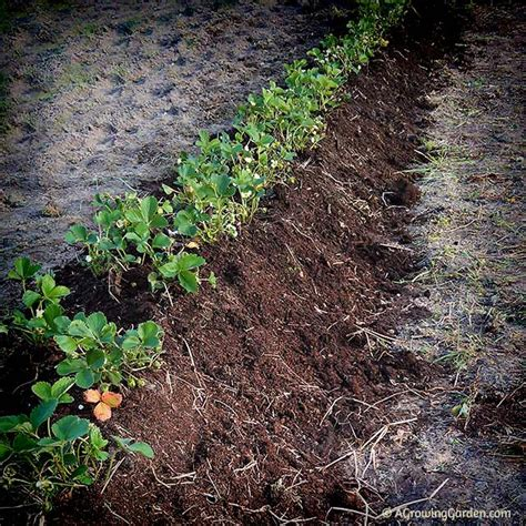 how to plant strawberries in a raised bed how to plant strawberries in a raised bed 28 images 25