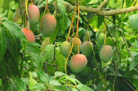 pianta di mango in vaso coltivare il mango in vaso pollicegreen