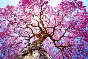 Pink Flowering Tree Identification - tree idioms and phrases oxfordwords blog