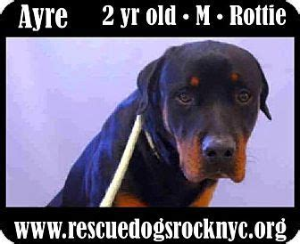 rottweiler rescue new york 1000 ideas about pet rocks on painted rocks rocks and painted