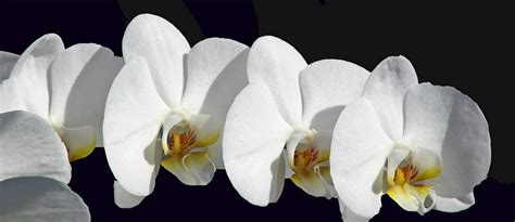 come curare orchidea in vaso come coltivare le orchidee in casa orchidee come