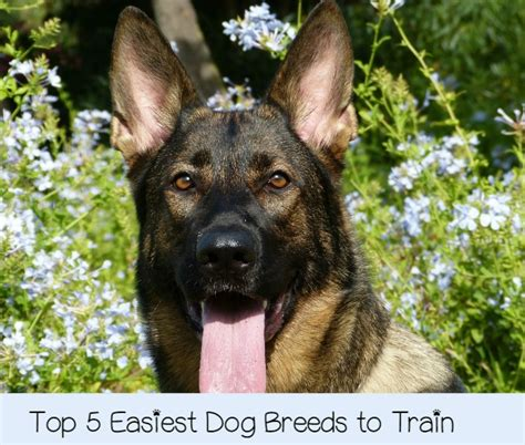 easiest dog to house train what are the top 5 easiest dogs to train dogvills