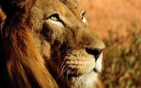 imagenes de leones tatuados fonditos le 243 n animales leones mascotas felinos
