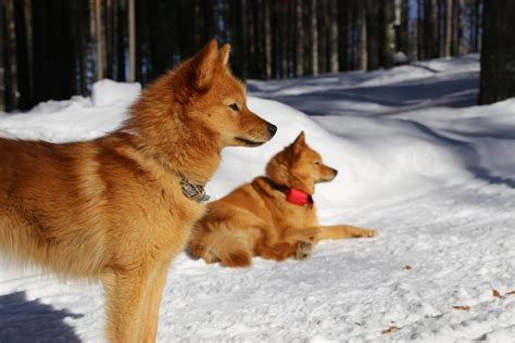 can foxes and dogs breed the least popular breeds in america rover