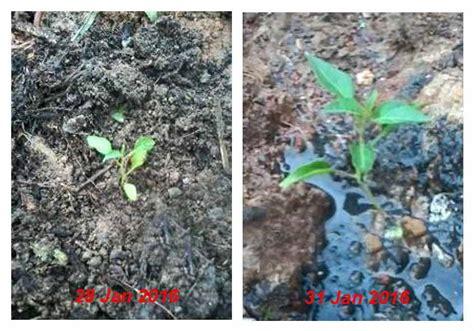 Pupuk Hayati Cair Sumber Subur pupuk alternatif air got air comberan air limbah