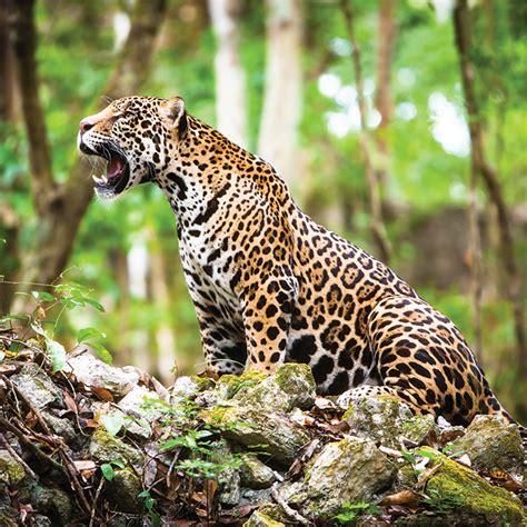 imagenes de jaguar para descargar refuerzan medidas para proteger al jaguar en m 233 xico