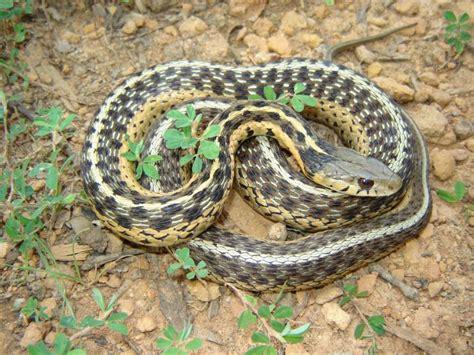Garden Snake Or Garter Snake Eastern Garter Snake
