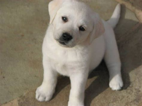 white puppys white lab puppy i labs white lab puppys and