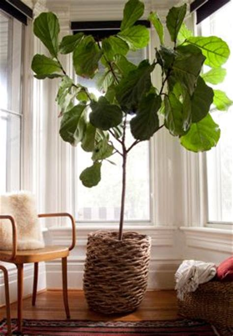 indoor house tree green leaves plants and outdoors on pinterest
