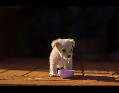 milk of the puppy by from the usa of a rescue puppy enjoying a bowl of milk which has won